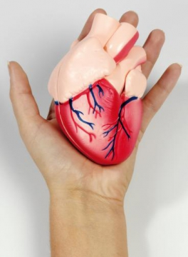 Model of the Heart