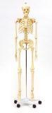 Life Sized Skeleton Model, 170cm
